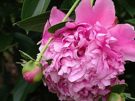 Pink Peony by Monica Cranswick