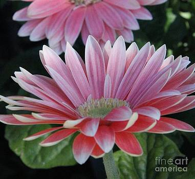 Pink Petals by Diane Greco-Lesser
