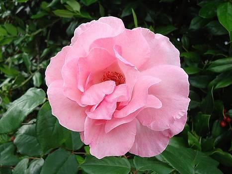 Pink Petals by Rita Tortorelli