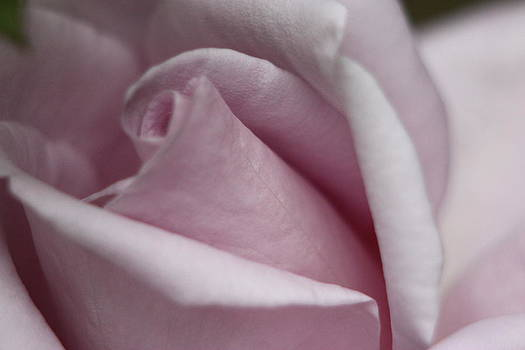 Pink Pink Rose by Mike Wilber