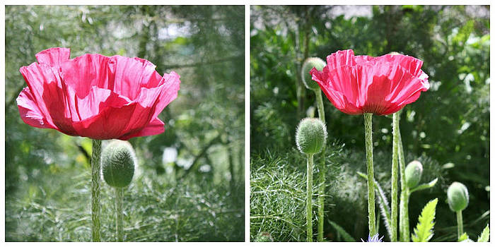 Pink Poppy Collage by Cathie Tyler
