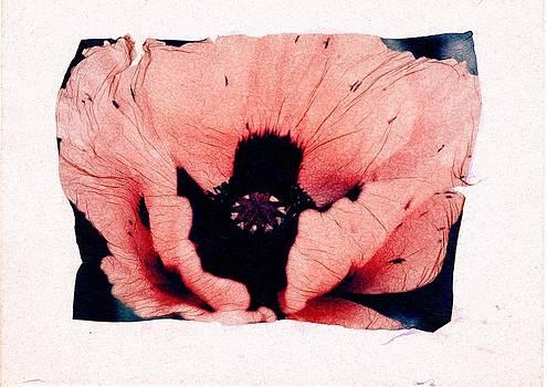 Pink Poppy by Gwen Strahan