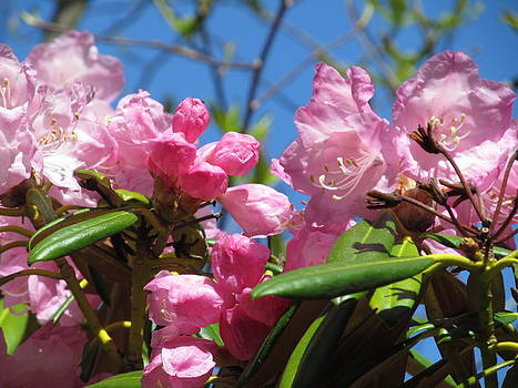 Alfred Ng - pink rhododendron