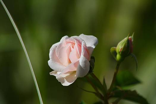 Pink Rose by Anthony Wilder