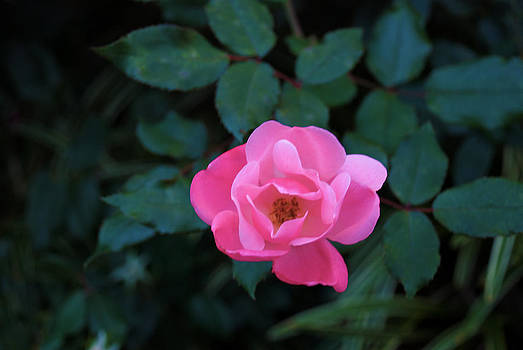 Pink Rose Blooming by Kelly Rader