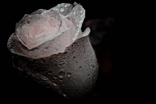 Pink Rose by Grebo Gray
