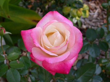 Pink Rose II by Jim Ziemer