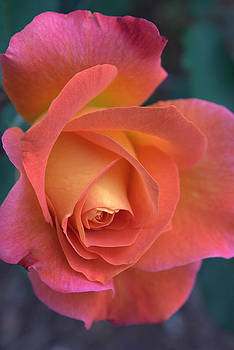 Pink Rose by Peggy Quade