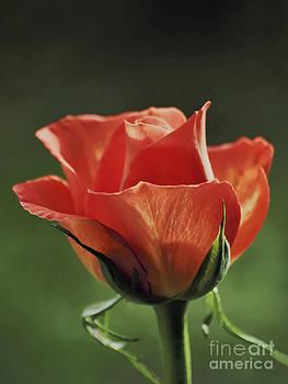 Pink Rose by Wedigo Ferchland