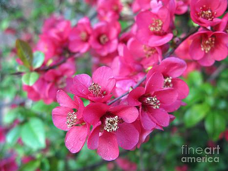 Pink Spring Blossoms by Ausra Huntington nee Paulauskaite