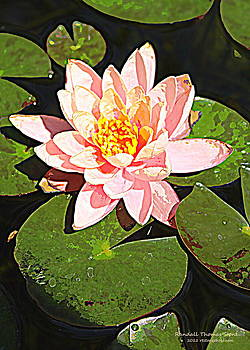 Pink Water Lily by Randall Thomas Stone
