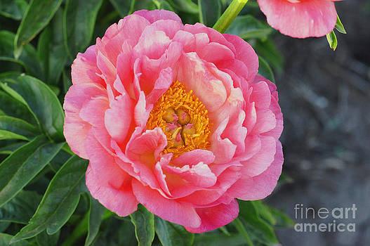 Pink Wonder by Rex E Ater