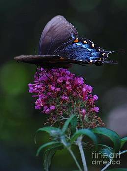 Joy Bradley - Pipevine Swallowtail Butterfly
