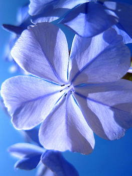 Plumbago Flowers by Catherine Natalia  Roche