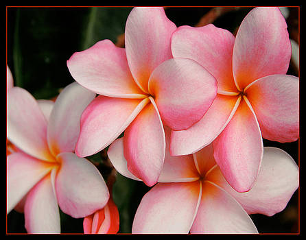 Plumeria's beauty by David Taylor