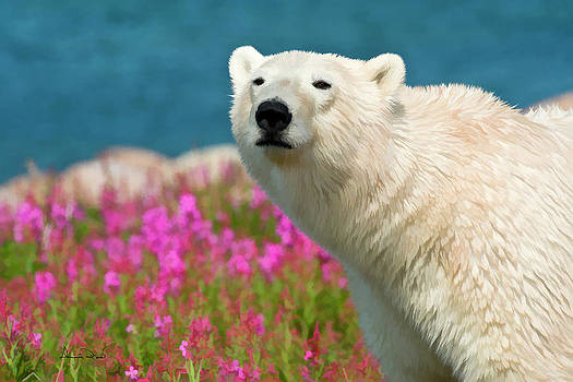 Polar Bear in Fireweed by Dennis Fast