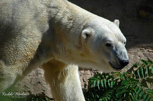 Polar Bear by Rachele Morlan