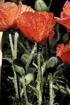 Poppies by Carolyn Reinhart