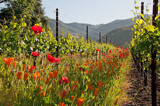 Poppies in the Vineyard by Kent Sorensen