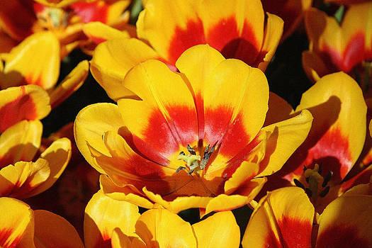 Poppy at Bellagio by Sharon I Williams
