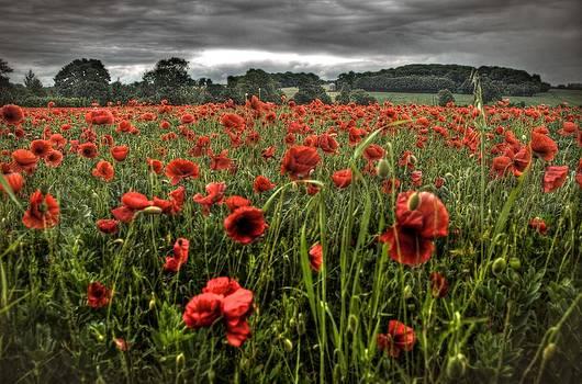 Poppy Field by Tim Kahane