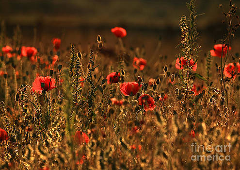 Poppy Fields by Clare Scott