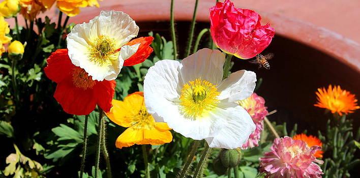 Poppy Galore by M Diane Bonaparte