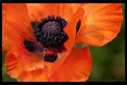 Poppy Heart by Sherry Fain