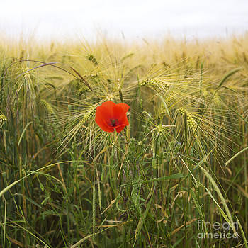 BERNARD JAUBERT - Poppy  in a field of Barley