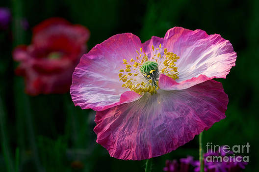 Poppy Queen. by Itai Minovitz