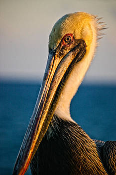Portrait of a Pelican by Catharine Anderson