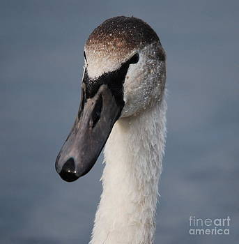 Doug Thwaites - Portrait of a Swan