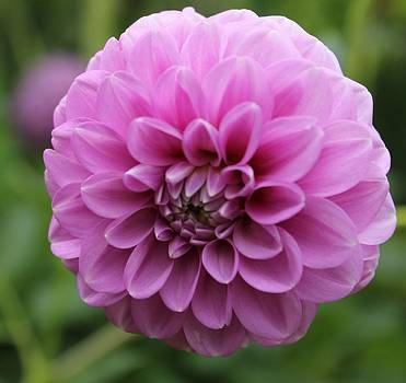 Ines Bolasini - Portuguese Flower