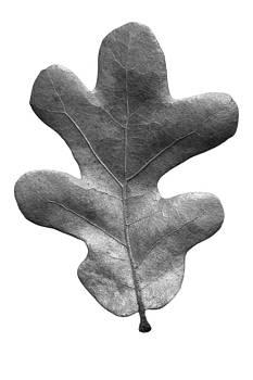 Jason Smith - Post Oak Leaf