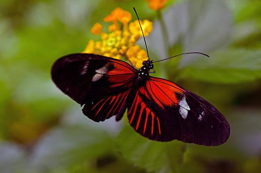 Postman Butterfly by Cheryl Cencich