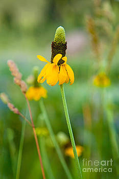 Prairie Coneflower by Barbara Schultheis
