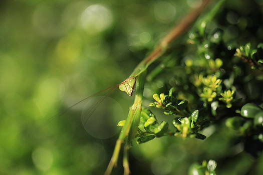 Praying Mantis 1 by Pan Orsatti