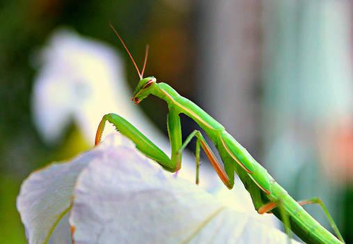 Praying Mantis by Jo Sheehan