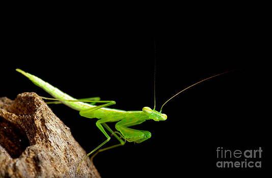 Praying mantis with black background  by Pongsak Deethongngam