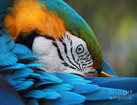 Preening Parrot by Glennis Siverson