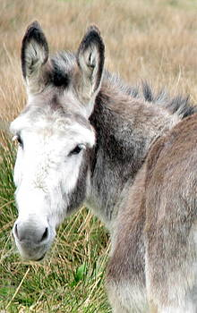 Pregnant Irish Donkey Mare by Joseph Doyle
