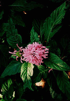 Pretty In Pink by David Campbell