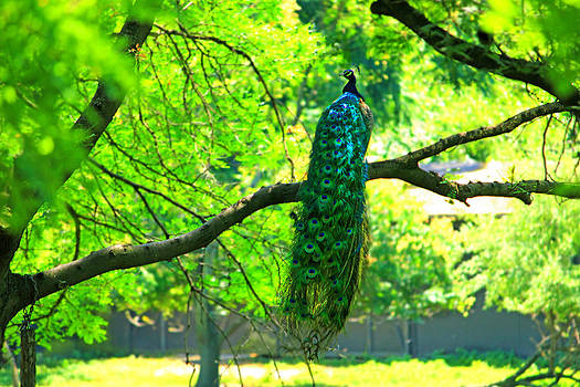 Pretty Perching Peacock by Cathy Leite Photography