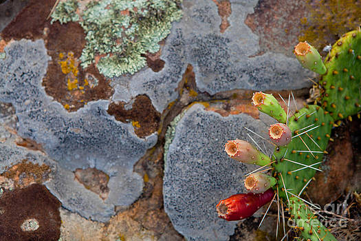 Prickly Pear by Barbara Schultheis