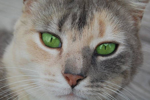 Prissy The Cat by Rhonda Hughes