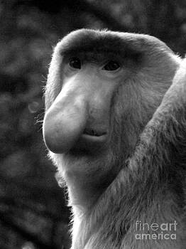 Shawna Gibson - Proboscis Monkey