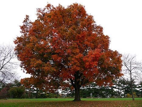 Richard Reeve - Proud Autumn Maple