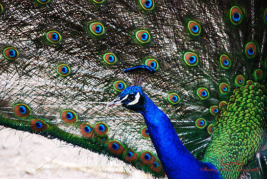 Proud Peacock by Sheryl Cox