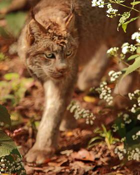 Prowling Lynx by Don Krajewski