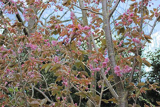 Prunus Kanzan 1 by Surbjit Singh
